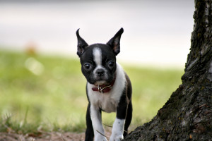Bea_Boston_Terrier