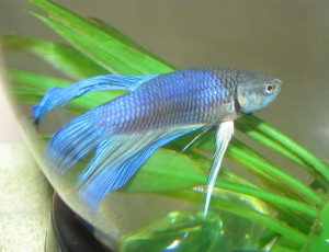 Blue_Betta_Splendens