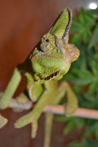 chameleon-907756_960_720